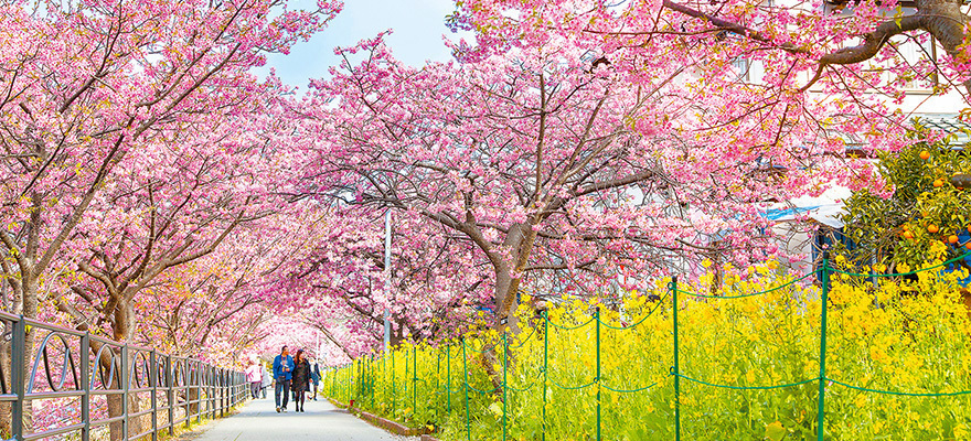 The Early Blooming Sakura of Kawazu