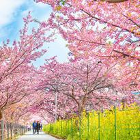 「河津櫻花祭」日本賞櫻搶先看!