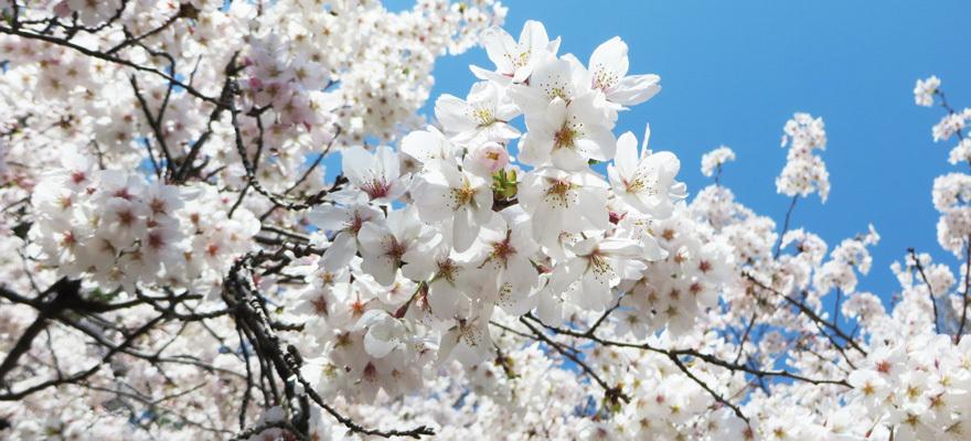 도쿄벚꽃1