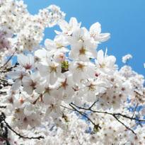 10 Must-See Sakura Spots in Tokyo