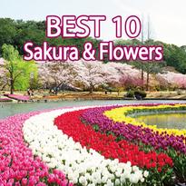 ดีงาม~10 สถานที่ชมซากุระพร้อมทุ่งดอกไม้