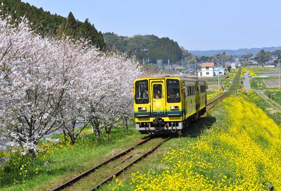菜の花と桜に囲まれて走るムーミン列車