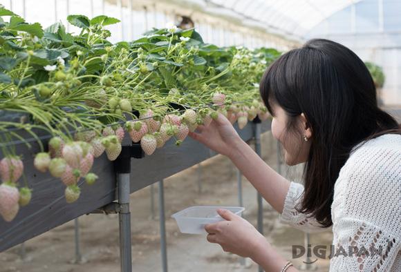 White strawberries at Dragon Farm
