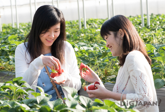Strawberry picking experience.