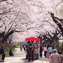 5 สถานที่ชมซากุระยอดนิยมของโทโฮคุ
