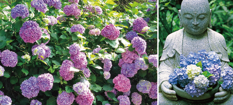 เที่ยวละไม...ชมดอกอะจิไซที่คามาคุระ
