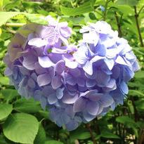 เที่ยวละไม ชมดอกอะจิไซที่คามาคุระ