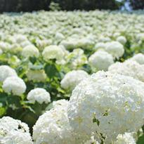 3 โซนสวย! ดอกอะจิไซในโตเกียว