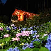 夜賞繡球花-京都宇治三室戸寺