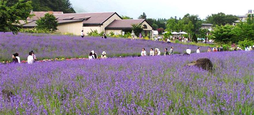 เที่ยวเพลิน 5 ทุ่งลาเวนเดอร์สวยๆรอบโตเกียว!