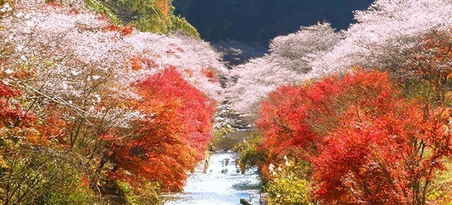 Sakura and Fall Foliage: Obara Shikizakura in Aichi Prefecture