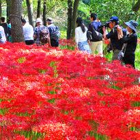 ส่งท้ายฤดูร้อนกับเทศกาลดอก Red Spider Lilly ที่ไซตามะ