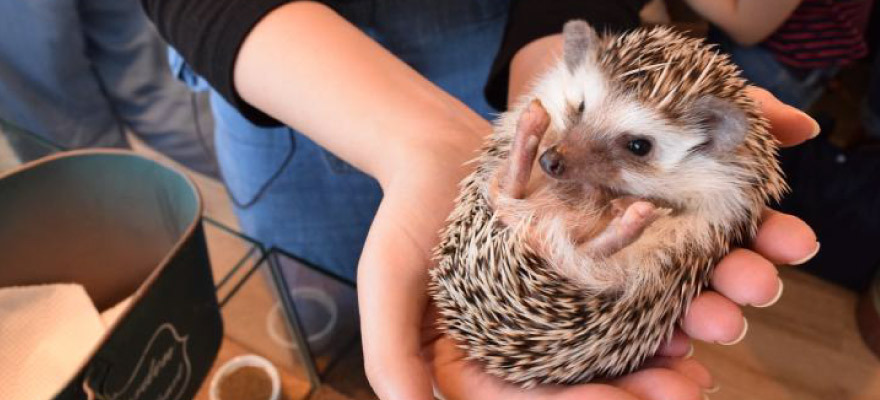 Get Some Quality Time with Hedgehogs at HARRY, a Hedgehog Cafe in Roppongi