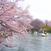 รีวิวสถานที่ชมซากุระสุดประทับใจในโตเกียว Kichijoji