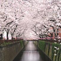 รีวิวสถานที่ชมซากุระสุดประทับใจในโตเกียว Nakameguro