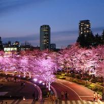 รีวิวสถานที่ชมซากุระสุดประทับใจในโตเกียว Roppongi