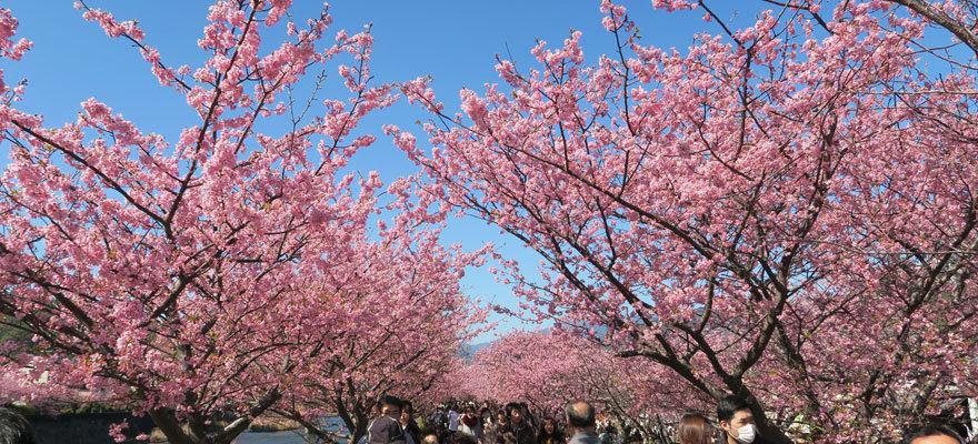 ห่างจากโตเกียวนิดเดียวก็มาชมซากุระได้เร็วก่อนใคร เดือนกุมภาและมีนาคมก็ดูได้แล้ว !