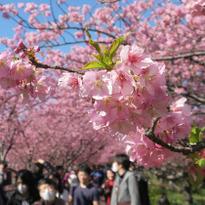 ห่างจากโตเกียวนิดเดียวก็มาชมซากุระได้เร็วก่อนใคร เดือนกุมภาและมีนาคมก็ดูได้แล้ว!
