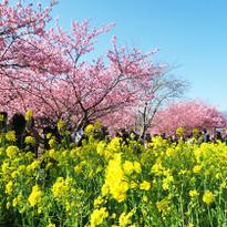 河津櫻美景盡收眼底!關東最早的櫻花美景、櫻花美食搶先玩!