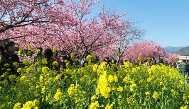 河津桜でひと足早く春を満喫しよう