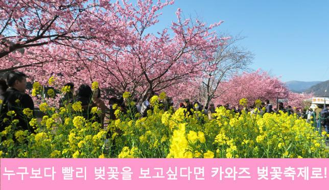 일본에서 가장 먼저 피는 카와즈 벚꽃이 피는 벚꽃축제에 가요