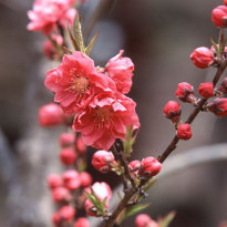 Great Spots for Plum Blossoms in Kansai