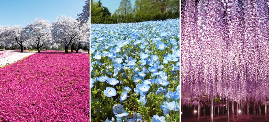 芝櫻、藍色琉璃唐草、紫藤花!到日本探訪此生必看絶美花海!