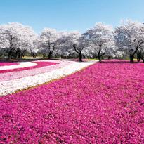 芝櫻、藍色琉璃唐草、紫藤花到日本探訪此生必看絕美花海!