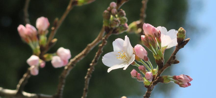 春旅前に必見!2017年日本全国桜開花予想