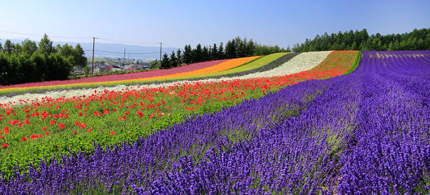 一生に一度は行きたい絶景 ファーム富田のラベンダー畑完全制覇!