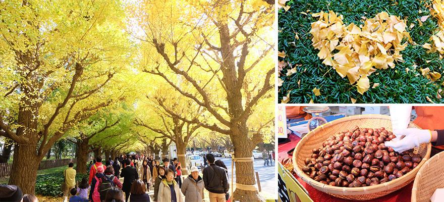 도쿄 인기 단풍 명소 가이엔마에 은행나무길에 가보다