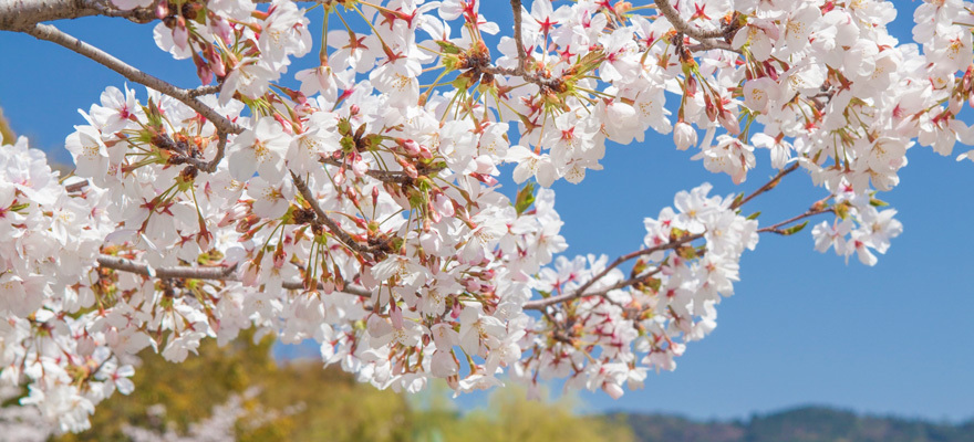 Best Times and Places to See Cherry Blossoms in Japan! Sakura Forecast for 2018