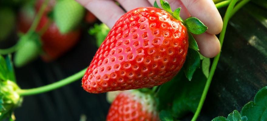 当季草莓随便吃!栃木县草莓采摘体验