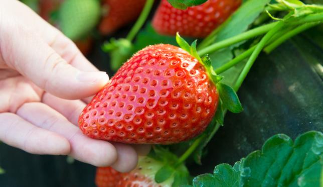 當季日本草莓吃到飽!栃木縣草莓之里採草莓體驗!
