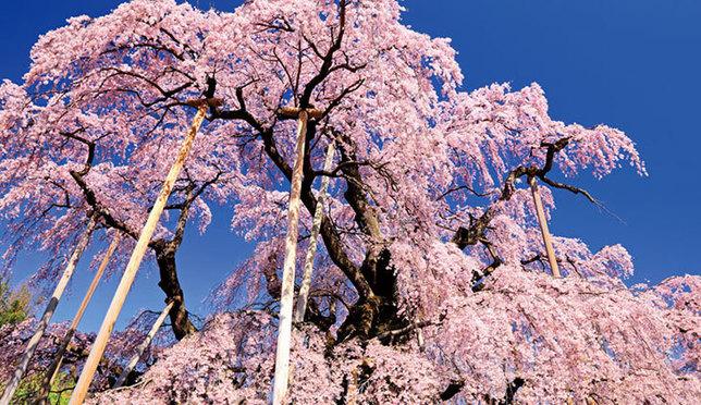 一生に一度は見てほしい!北海道&東北 桜の絶景14選