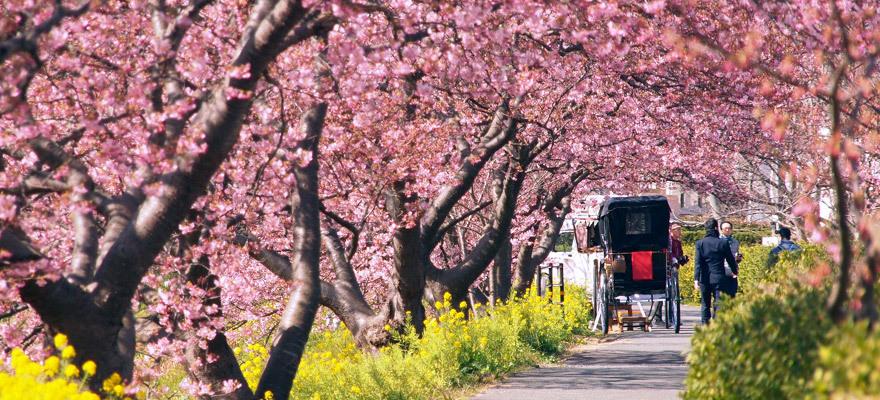 每年最早開花的櫻花就在伊豆!南伊豆町「南櫻與油菜花祭」
