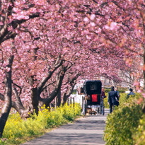 Early-Blooming Sakura in Izu! the Southern Cherry Blossom and Rapeseed Flower Festival