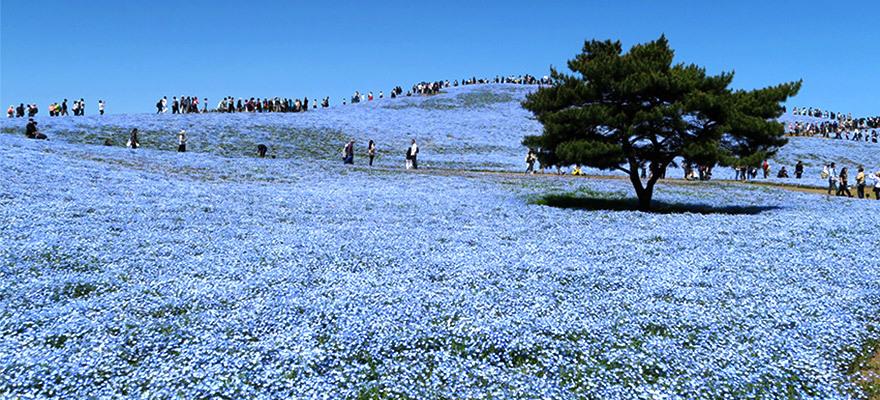 วิวทุ่งสีฟ้าสุดว้าว! ทุ่งกว้างของดอกเนโมฟีลา ณ สวนสาธารณะฮิตาจิไคฮิน (Hitachi Seaside Park)