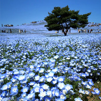 Inspiring Views of Blue Nemophila Flowers at Hitachi Seaside Park