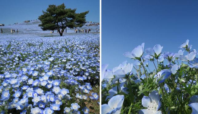 あこがれの絶景!一面に広がる青い花ネモフィラ in 国営ひたち海浜公園