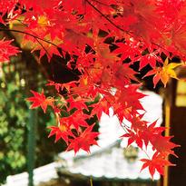 京都必看楓葉景點!日本賞楓現在就出發!