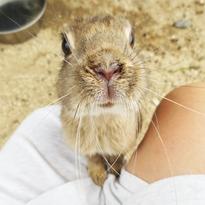 兔子控的樂園廣島縣可愛兔子島