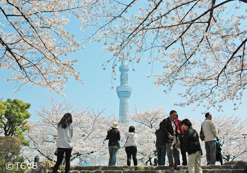 透过隅田公园盛开的樱花遥望东京晴空塔