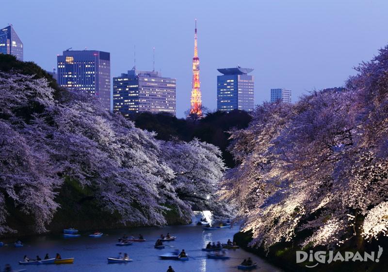 夜の千鳥ヶ淵 満開の桜と夜景