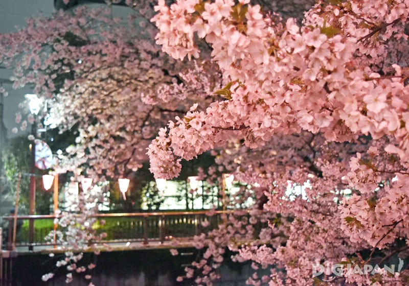 夜晚的目黑川之櫻