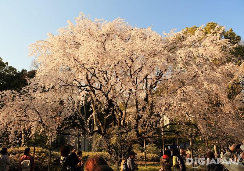 日本庭院六义园的垂樱