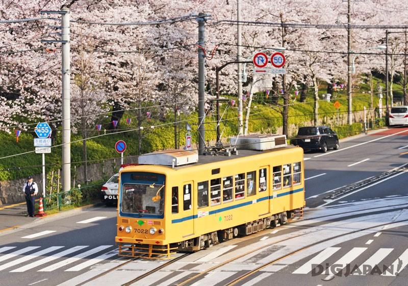 飞鸟山公园看路面电车行驶穿越樱花丛