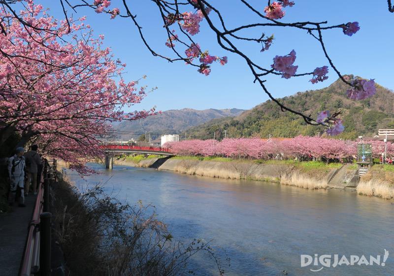 ดอกซากุระบานริมฝั่งแม่น้ำ1
