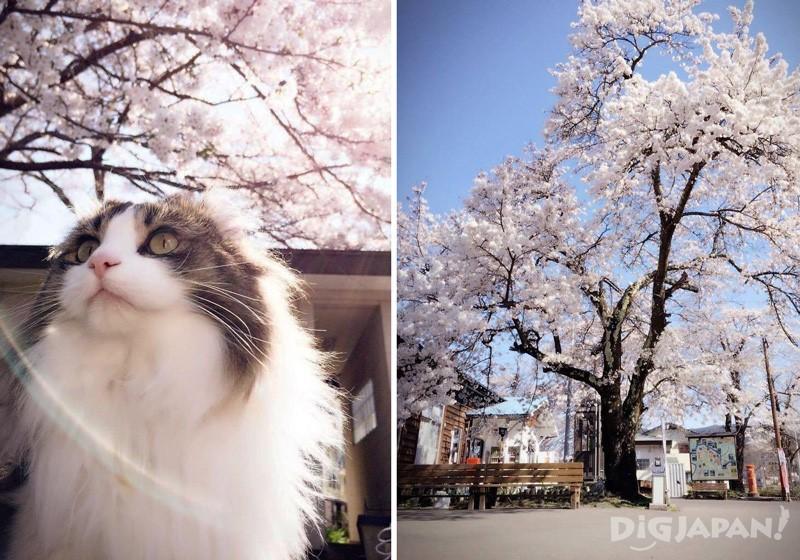 桜と芦ノ牧温泉駅