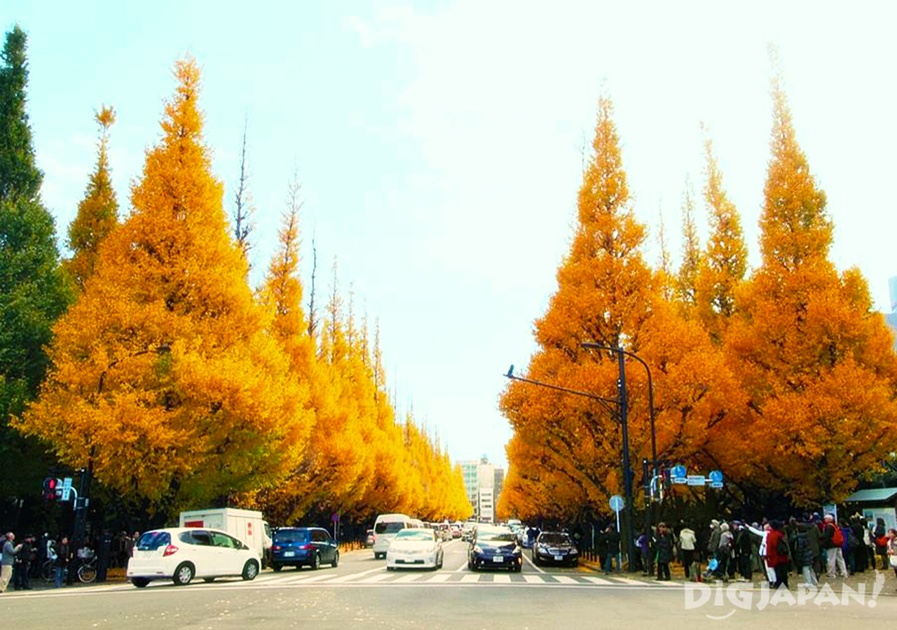 Golden Ginko trees at Meiji-jingu Gaien